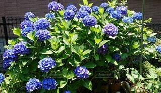 満開の紫陽花の写真・画像素材[4702754]