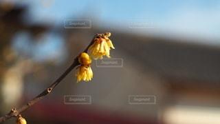 黄色い花のクローズアップの写真・画像素材[2935342]