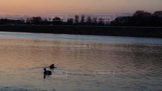 水面を優雅に泳ぐ二羽の鳥の写真・画像素材[2935354]