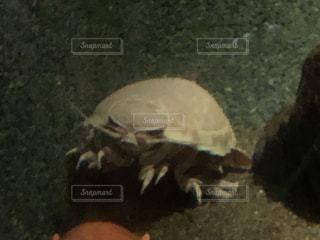 ダイオウグソクムシのアップの写真・画像素材[2937808]