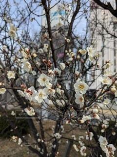 桜の写真・画像素材[2943590]