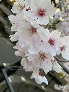 桜の花びらの写真・画像素材[3690832]