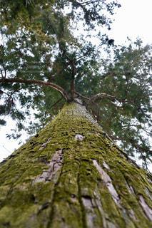 子宝の杉の写真・画像素材[2946921]