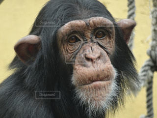 チンパンジーの写真・画像素材[2947126]