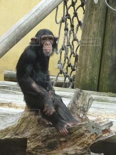 チンパンジーの写真・画像素材[2950013]
