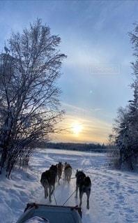 🐕夕陽に向かう 犬ぞり🐕の写真・画像素材[2952221]