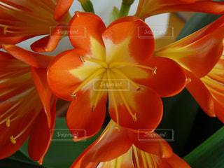 clivia miniataの写真・画像素材[3041200]