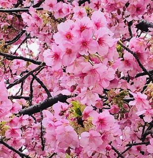 満開♡河津桜(^^)の写真・画像素材[2976983]