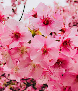 河津桜♡東京(^^)鮮やかの写真・画像素材[2976987]