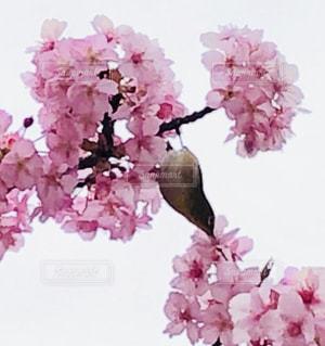 めじろ♡河津桜の写真・画像素材[2976992]