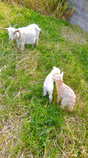 お母さんと2匹の子ヤギの写真・画像素材[3000484]