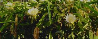 ドラゴンフルーツの花の写真・画像素材[3020616]