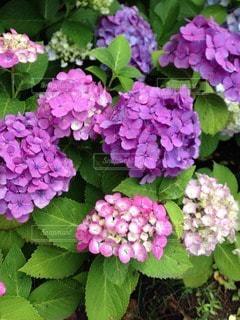 紫陽花の宴の写真・画像素材[118671]