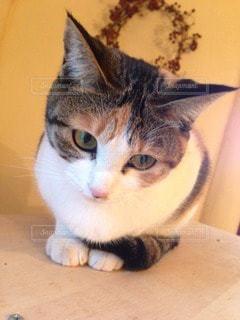 美人猫の写真・画像素材[118810]