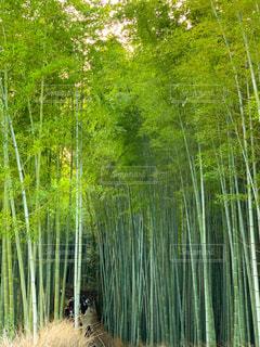 竹林の小路の写真・画像素材[2971029]