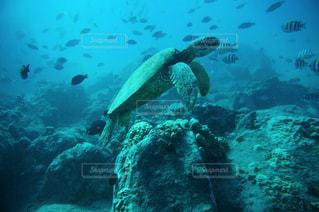 ウミガメの写真・画像素材[2996621]