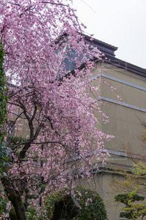 京都府庁・桜の写真・画像素材[2989133]
