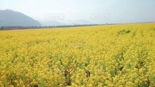 菜の花の写真・画像素材[3059079]