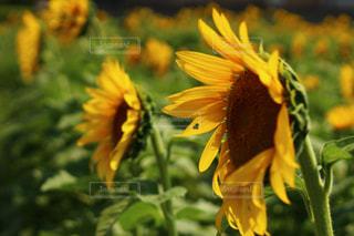 ハートの形の向日葵の写真・画像素材[180533]