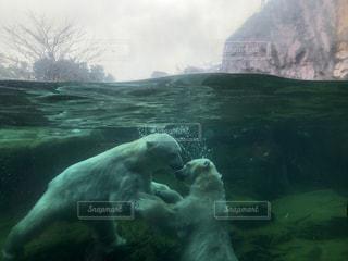 白クマのじゃれあいの写真・画像素材[2975276]