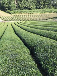 緑豊かな茶畑の写真・画像素材[2998533]
