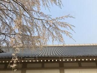 桜と屋根の写真・画像素材[2998535]
