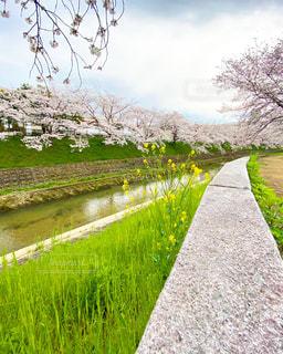 桜並木の散歩道の写真・画像素材[3108741]