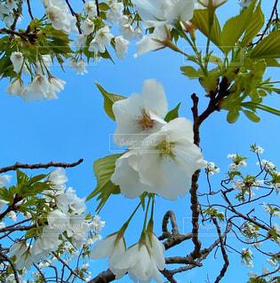 青空と白い桜の写真・画像素材[3175613]