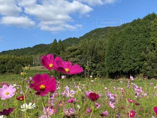 秋の晴れた日の景色 コスモスに囲まれての写真・画像素材[3839058]