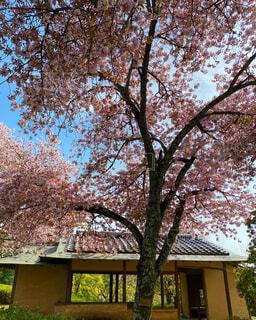 桜の大木と東屋と緑の写真・画像素材[4317505]