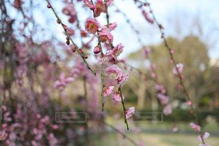 ピンク 枝垂れ梅 春の写真・画像素材[2991441]