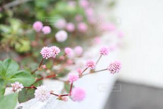 植物 ピンクの写真・画像素材[2991436]