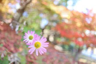 ピンク 花の写真・画像素材[2991437]