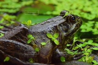 バンクーバー水族館のカエルの写真・画像素材[3009997]