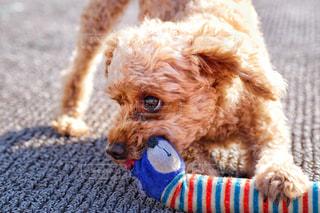 犬のクローズアップの写真・画像素材[3005748]