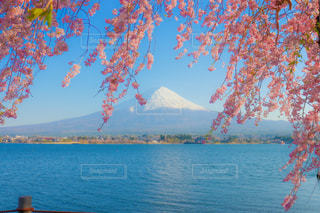桜と富士山の写真・画像素材[3268904]