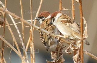 2羽の雀の写真・画像素材[2985527]