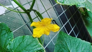 きゅうりの実と花の写真・画像素材[2985556]