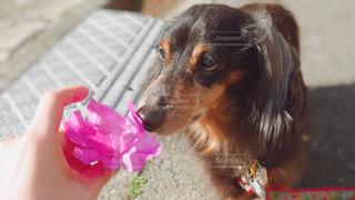 花の匂いを嗅ぐ犬の写真・画像素材[2986273]