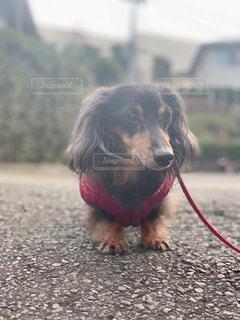 遠くを見る犬の写真・画像素材[2986295]