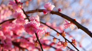 梅の花の写真・画像素材[2986628]