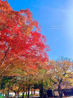 紅葉と銀杏の木の写真・画像素材[2991620]