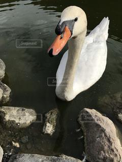 人懐こい白鳥さんの写真・画像素材[3000531]