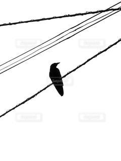 電線にとまるカラスの写真・画像素材[2988748]
