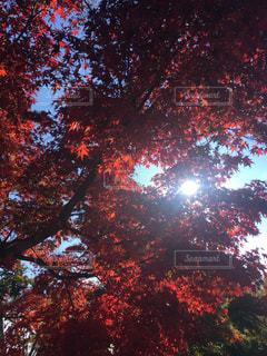 赤い光が入った木の写真・画像素材[2992624]