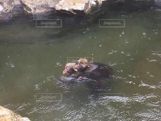 水の体の中を泳ぐ猿の写真・画像素材[2994527]