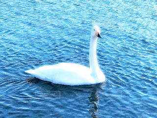 白鳥の写真・画像素材[2996568]