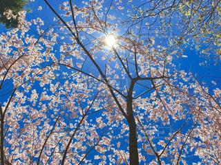澄んだ青空の桜の写真・画像素材[2997007]