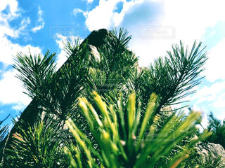 松と空の写真・画像素材[3030590]