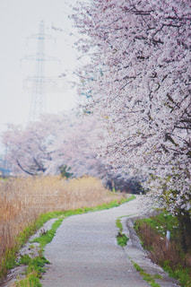 桜小道の写真・画像素材[2997839]
